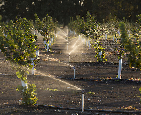R10T Rotator® Sprinkler irrigating hazelnuts in the Willamette Valley, Oregon.