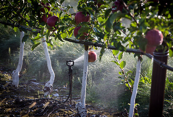 The R10 Rotator® irrigating apples in Oregon.