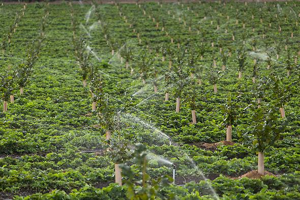R10 применяется в садах по выращиванию фундука